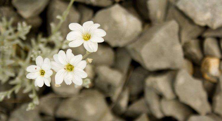 Die Wahrheit ist eine unzerstörbare Pflanze. Man kann sie ruhig unter einen Felsen vergraben, sie stößt trotzdem durch, wenn es an der Zeit ist. - Zitat von Frank Thiess