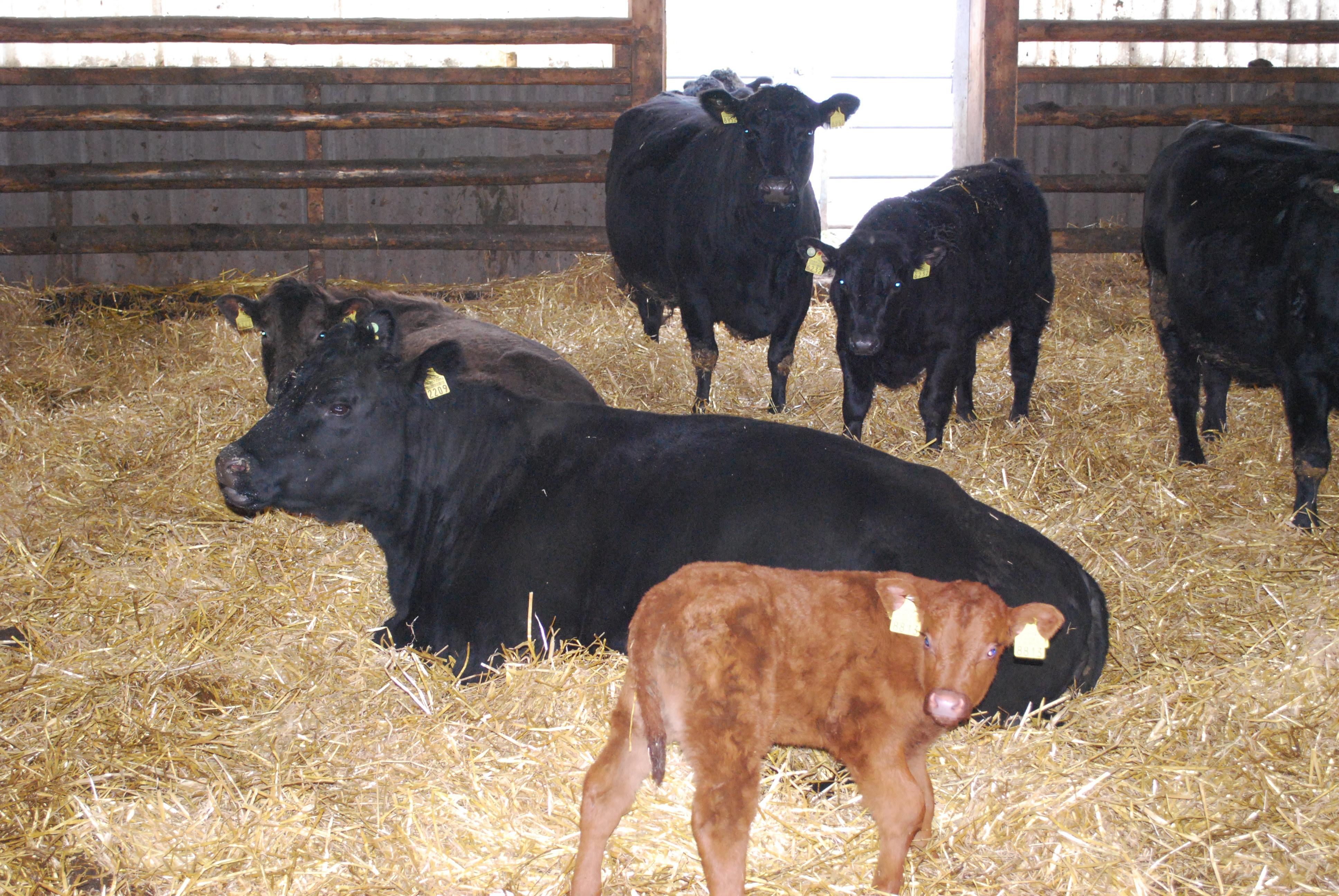 Mutterkühe im Winterstall