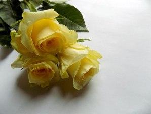 rose-gelb-weiss