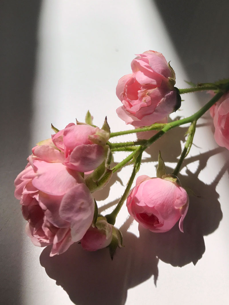 schatten-rose1.jpg