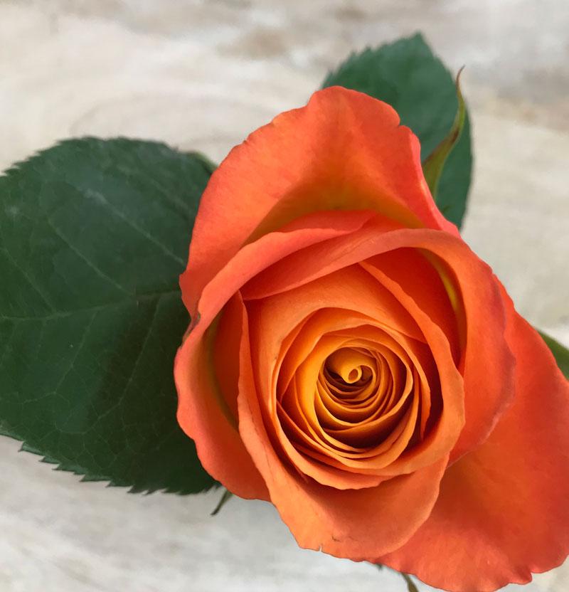 rose65.jpg