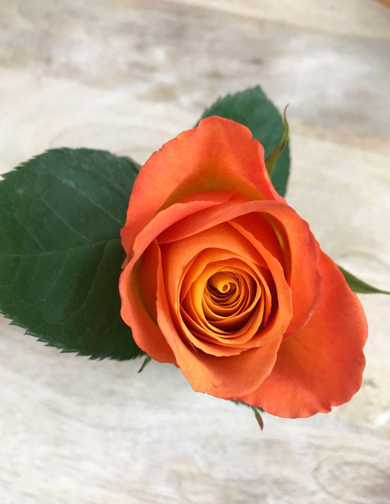 rose99.jpg