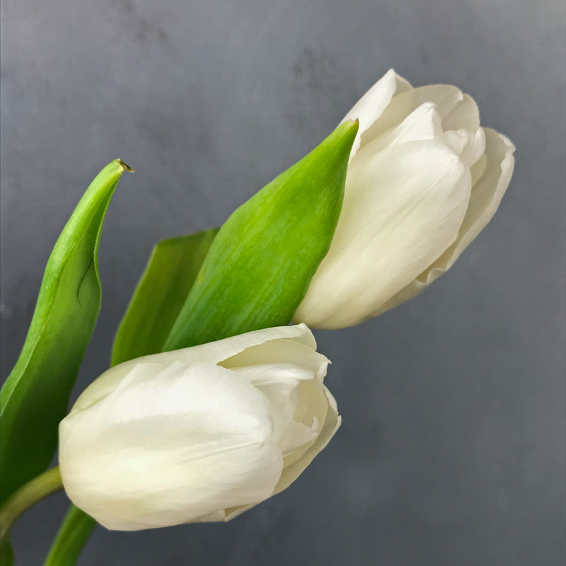 tulp-wei120