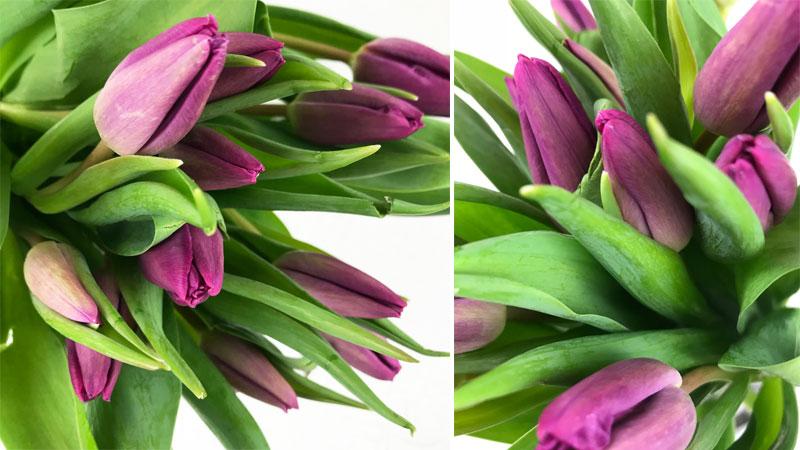 tulpen-coll1