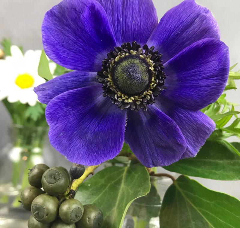 anemon-blau5.jpg