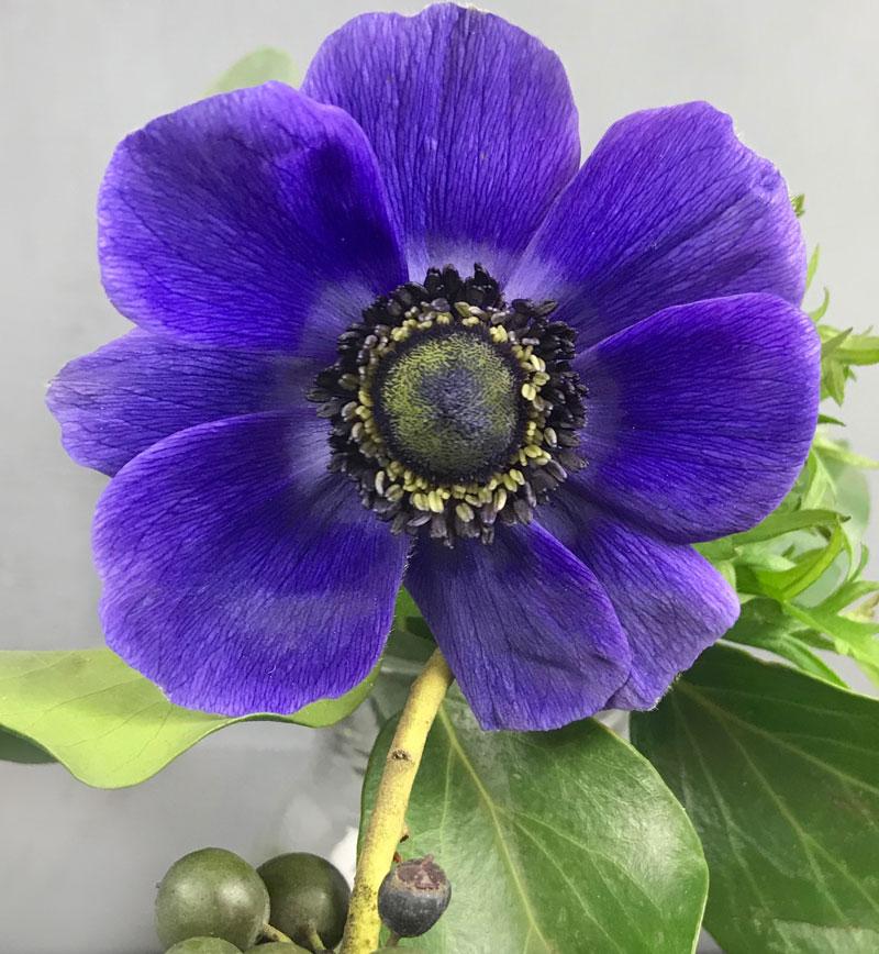 blaue-anemone305.jpg