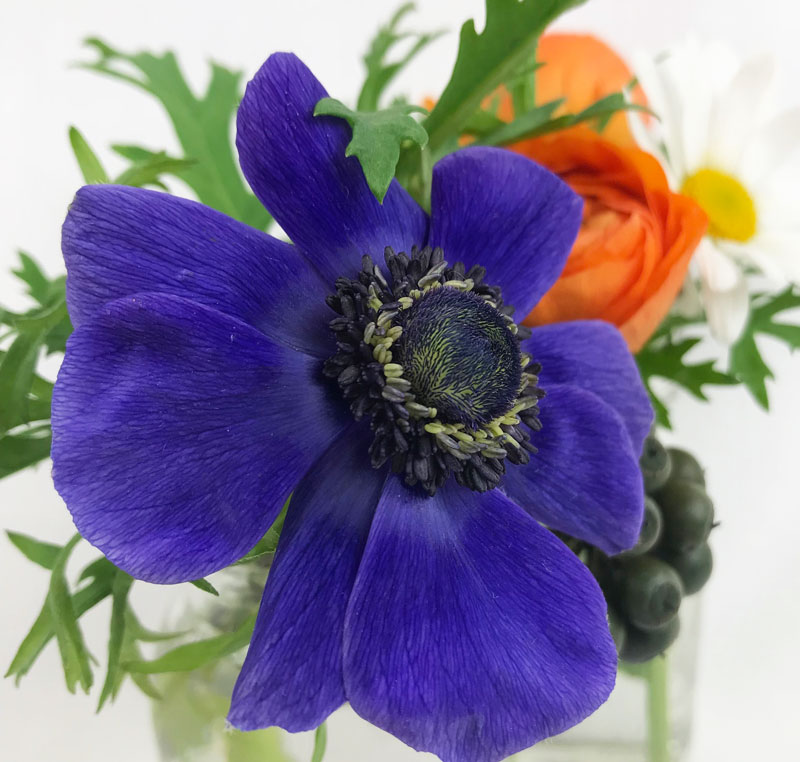 blaue-anemone701.jpg