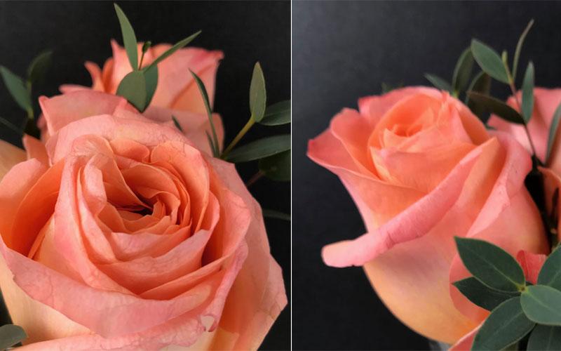 rose-lachs-coll1.jpg