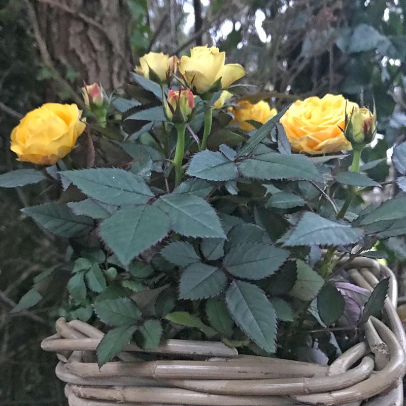 rose-gelb22.jpg