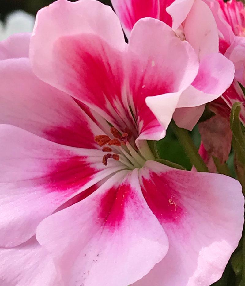 geranien1.jpg
