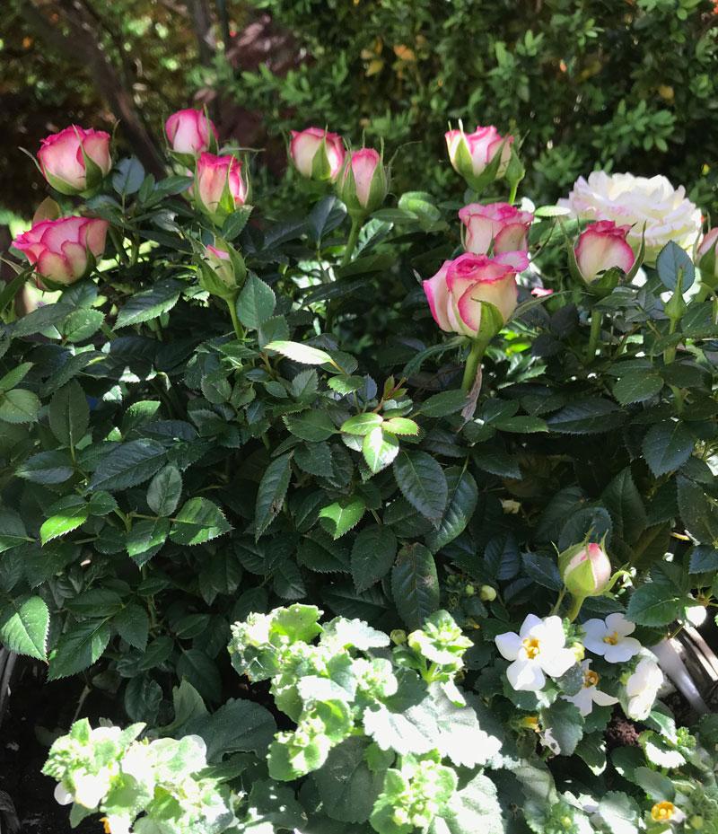 rosen-garten5.jpg