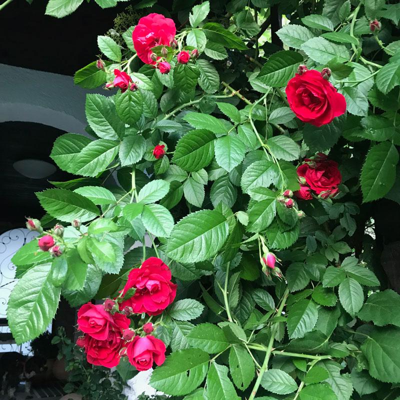 rose17.jpg