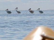 weiße pelikane, die sind wohl normalerweise im winter nicht hier...