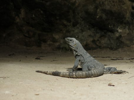 Iguana everywhere