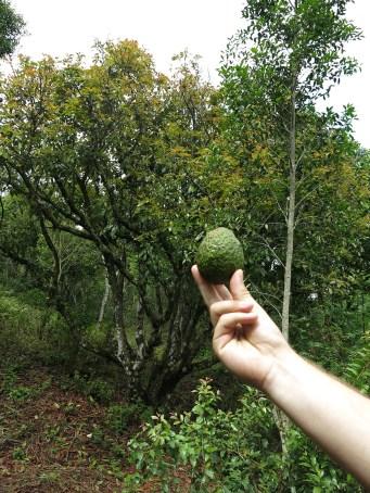Frische Avocados – nach 4 Grenzübergängen waren sie auch reif ;)