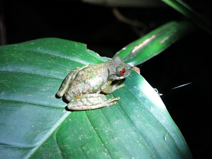 Ein Rotaugenfrosch