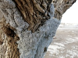 Salzkruste am Baum