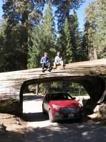 Der Tunnel Log, ein gefallener Sequoia