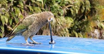 Ein Kea mit Antennen-Appetit
