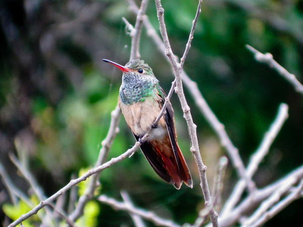 Buff-bellied Hummingbird, Estero Llano Grande TX, Digiscoped, DiaScope 65FL
