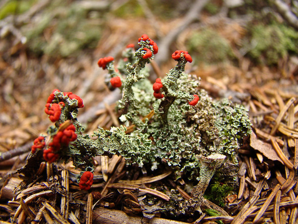 Lichen Horns: Acadia National Park