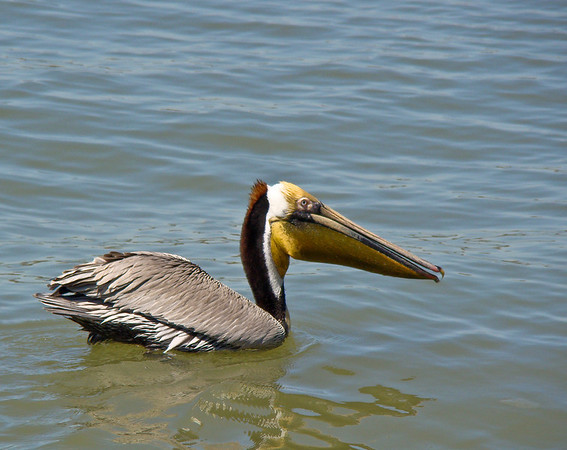 Brown Pelican in Galveston Harbor
