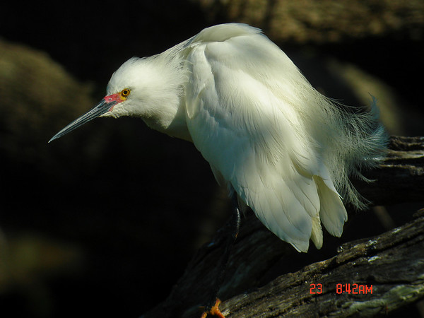 Snowy Egret on the Prowl