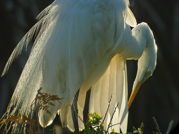 Great Egret Preening in the Light