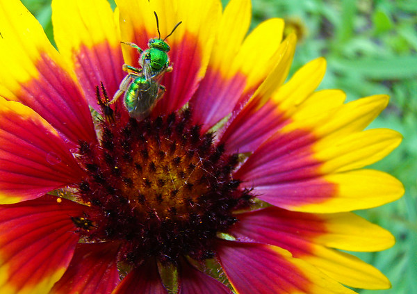 Who Knew? Green Bee on Blanket Flower