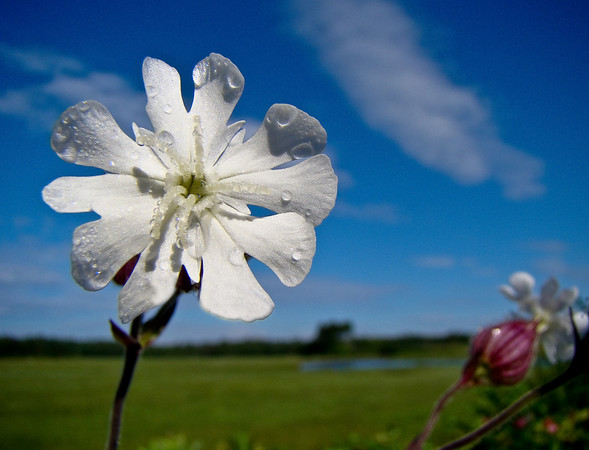 And White Campion for my Banner!