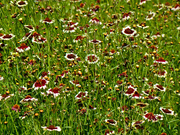 Massed Coreopsis