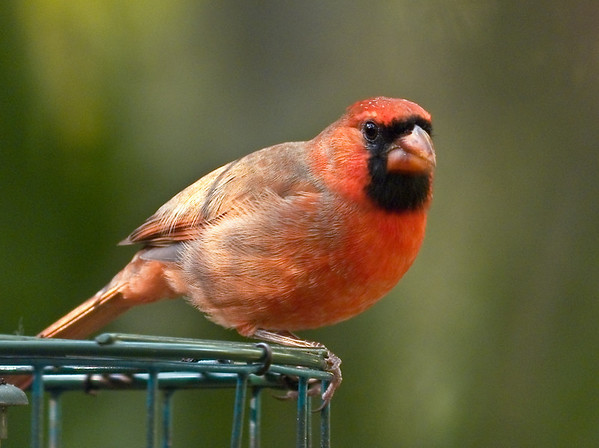 Northern Cardinal in the South