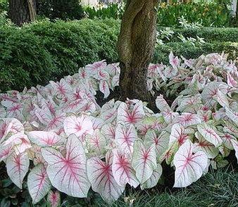 interesting plant caladium bicolor