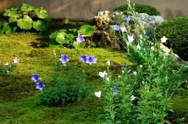 TentokuinBellflower02