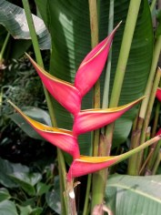 The Heliconia lobster claw which inspired O'Keeffe's misnamed Heliconia Crab Claw Ginger painting for the Hawaiian Pineapple Company