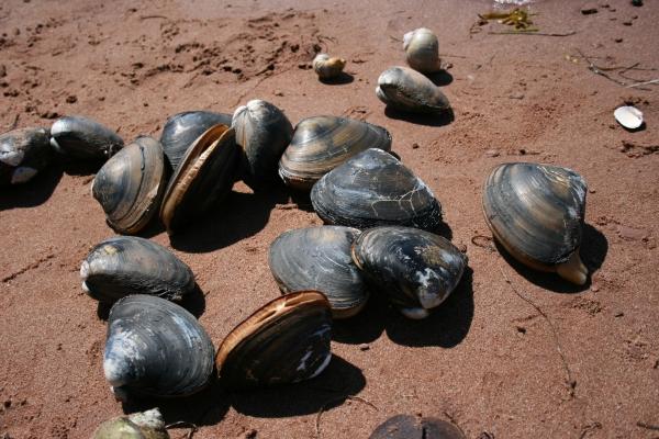 Giant Bar Clam Hunt – Paradise on the Sea Adventures