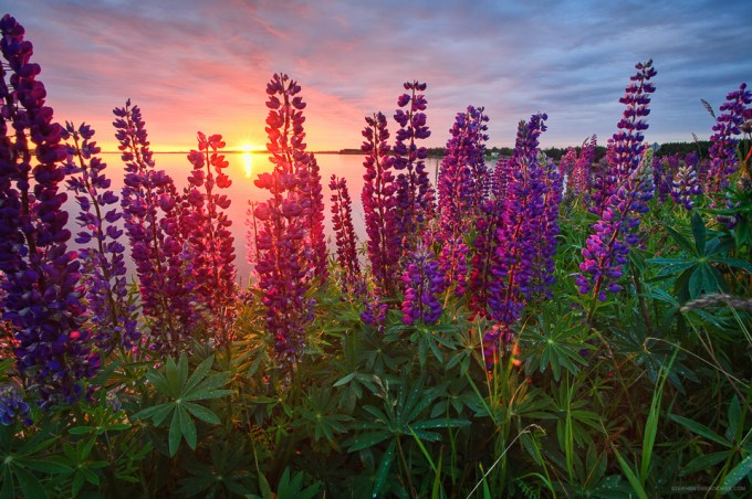 Lupins at Sunrise - Stephen DesRoches