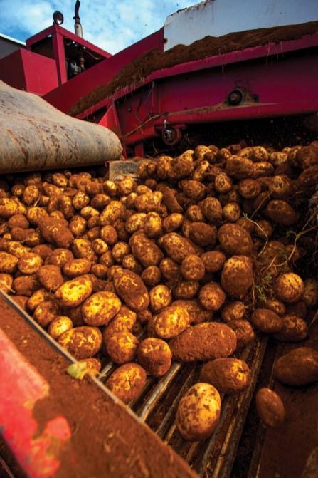 Freshly Harvested PEI Potatoes