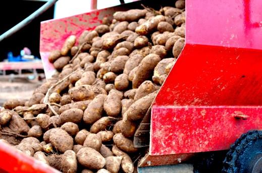 Truck Load of PEI Potatoes