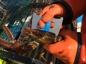 Measuring PEI Lobster