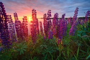 Summer lupins in PEI