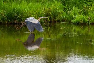 Blue Heron, PEI