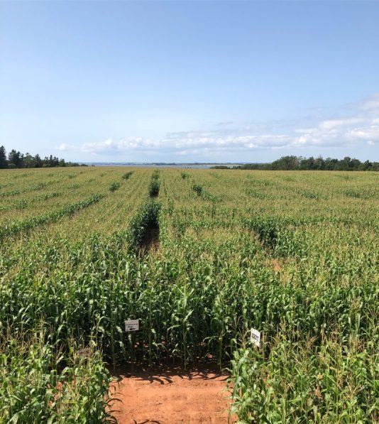 Belfast Corn Maze