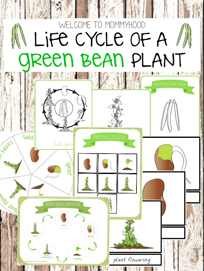 green bean life cycle printables