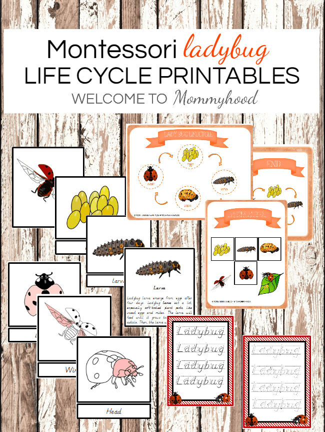 Montessori Printables: Ladybug lifecycle printables! Learn more about these Montessori printables on the blog! #montessori #montessoriprintables #lifecycle