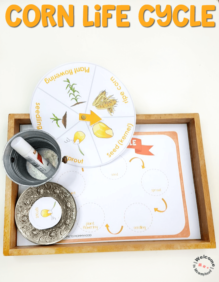 Use these corn life cycle printables to create awesome hands-on learning actvities your students will love! Perfect for fall activities for kindergarten!