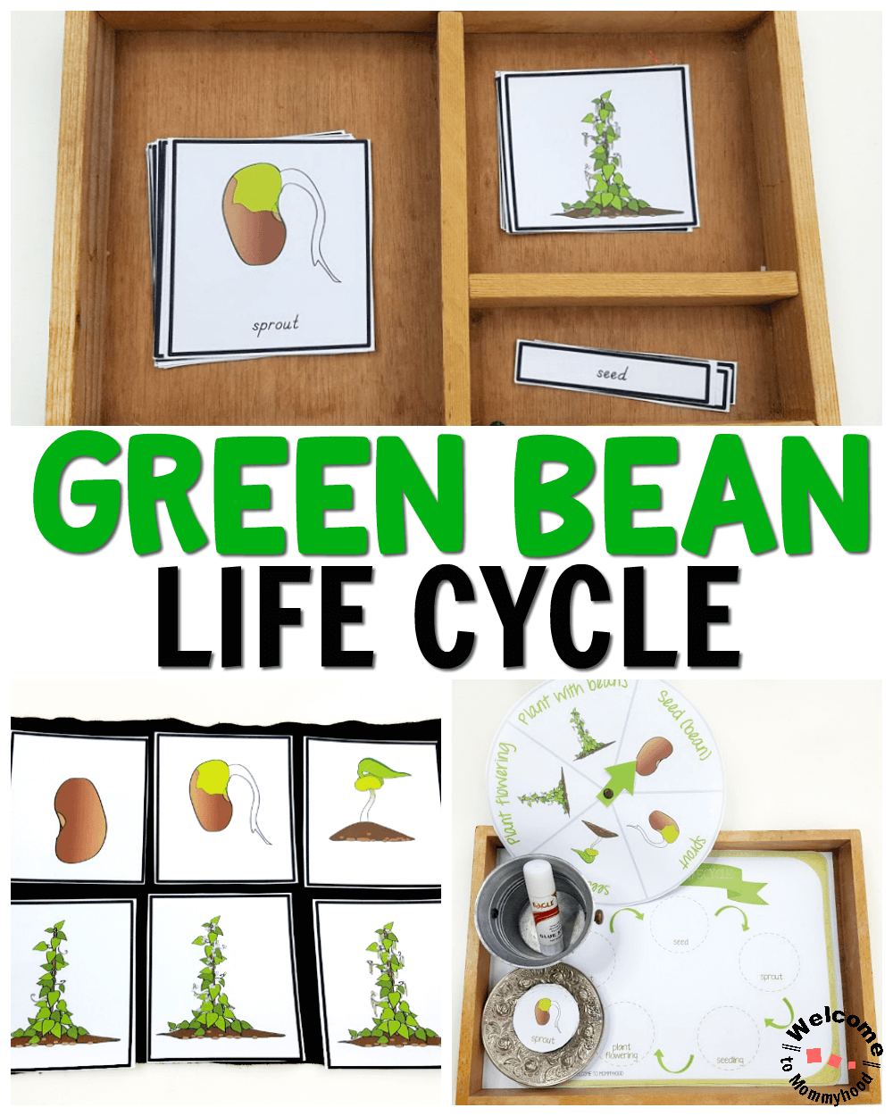 Use our green bean life cycle printables to create awesome hands-on learning activities your students will love! Perfect for fall and Thanksgiving!