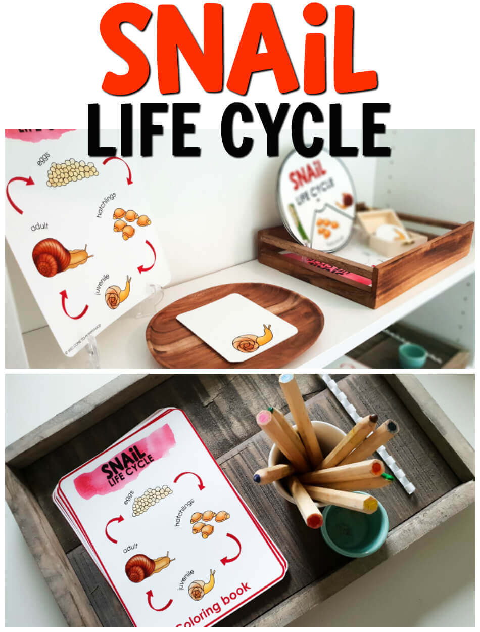 Use these snail life cycle printables to create amazing hands-on learning activities! Perfect for science centers or Montessori classes!