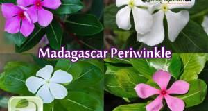 Madagascar periwinkle (Catharanthus Roseus), nayantara