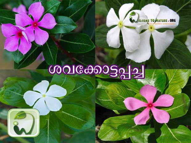 madagascar periwinkle catharanthus plant with flower